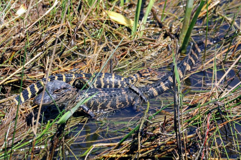 Kleine alligators in Everglades